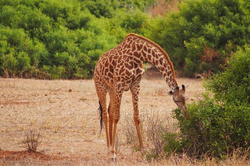 a giraffe is graze from a bush royalty free stock image