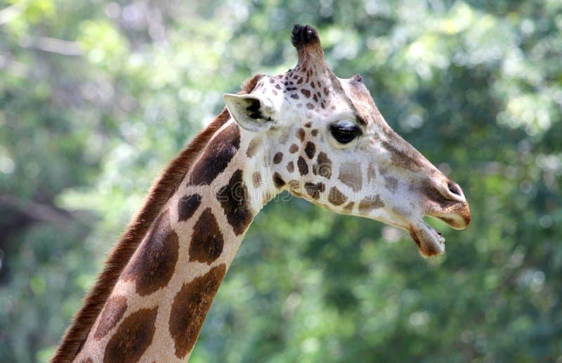Giraffe on green, portrait royalty free stock image