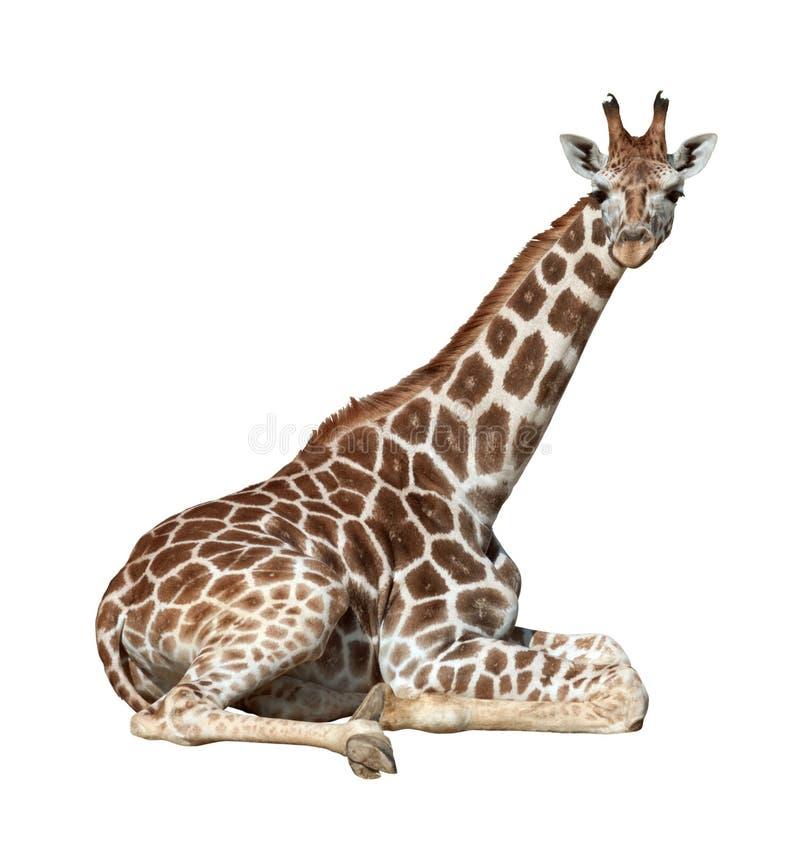 Giraffe on ground stock photography