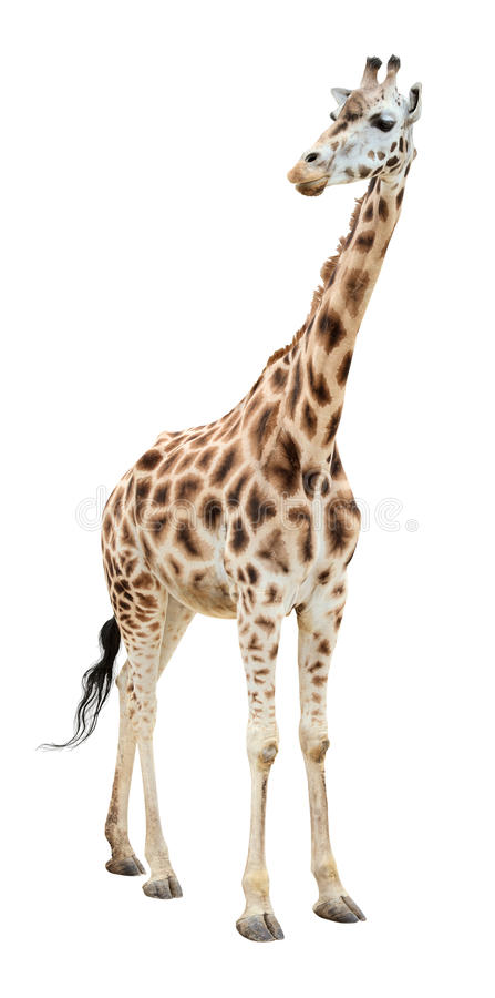 Download Giraffe Half-turn Looking Cutout Stock Photo - Image: 14753800
