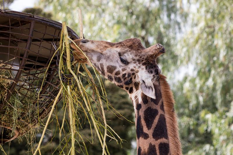 A giraffe having a meal from a raised basket, shallow depth of field royalty free stock image