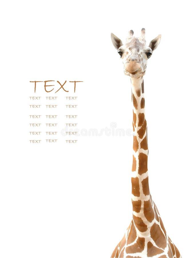 Giraffe head. On white back ground royalty free stock image