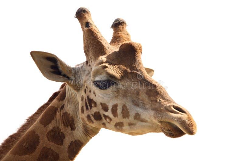 Giraffe head. A over white back ground stock photos