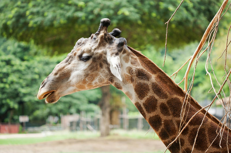 Download Giraffe head stock image. Image of nice, nose, wild, african - 25775265