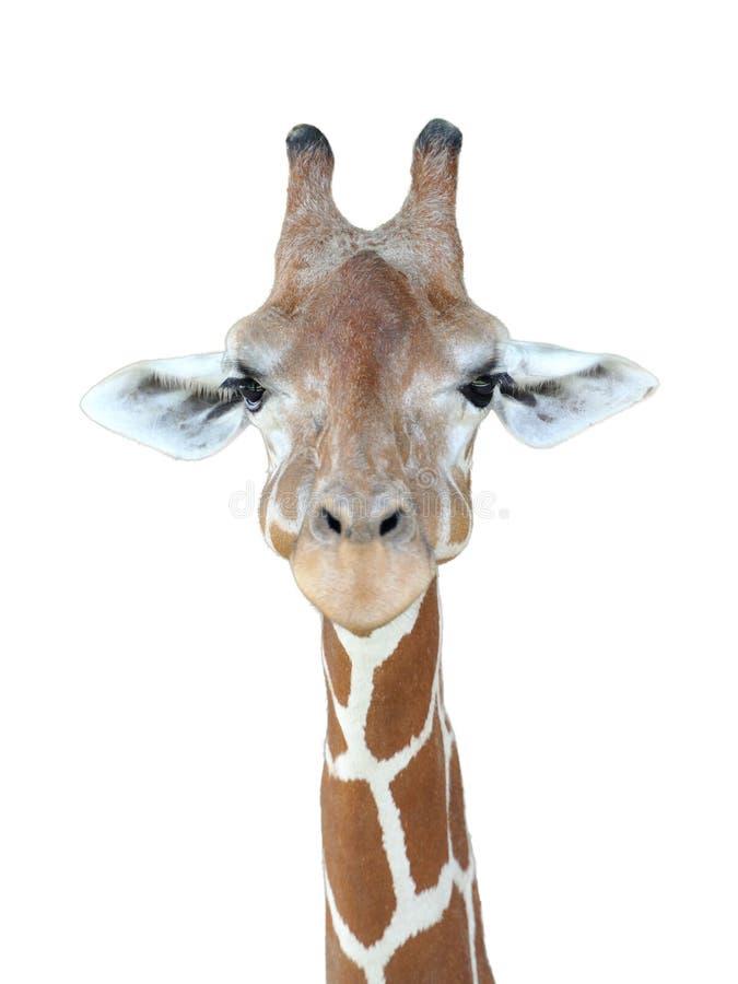 Giraffe head. Giraffe's head with isolated background royalty free stock photography