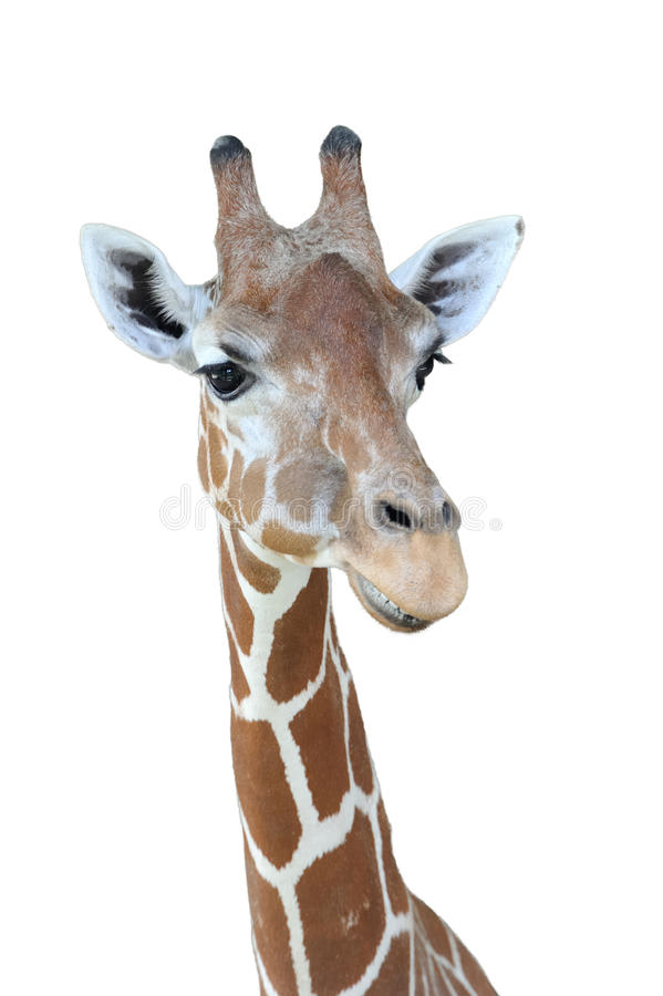 Download Giraffe head stock photo. Image of giraffe, mouth, nostril - 25976600