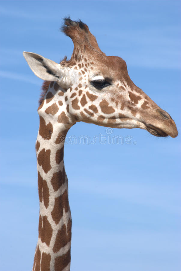 Free Giraffe Head And Neck Stock Images - 16187884