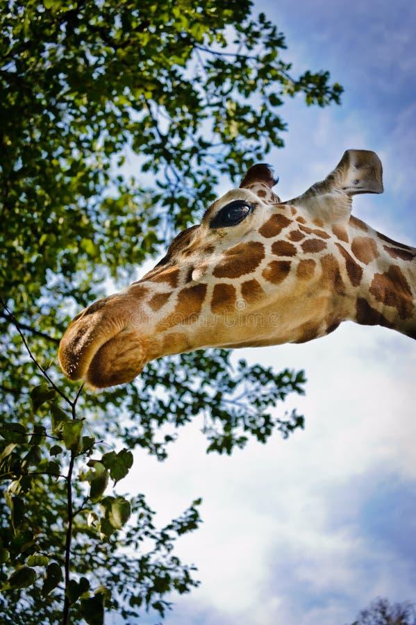 Download Giraffe head stock image. Image of head, detail, garden - 37159489