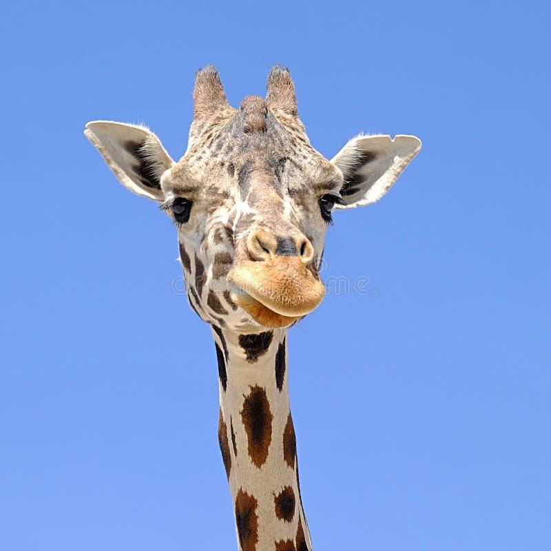 Giraffe head. Close-up and blue sky stock photos