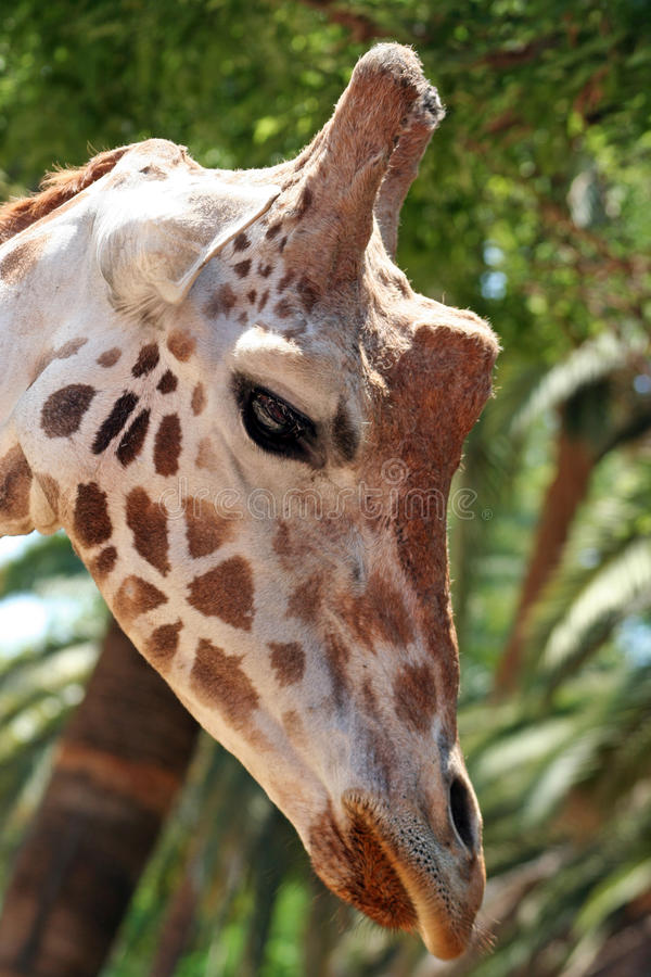 Giraffe head. Detail of the head of a giraffe (Giraffa camelopardalis royalty free stock images