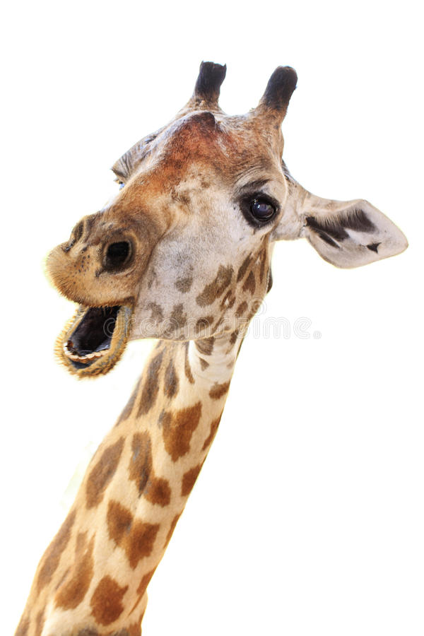 Giraffe head face look funny. Isolated on white background royalty free stock photography