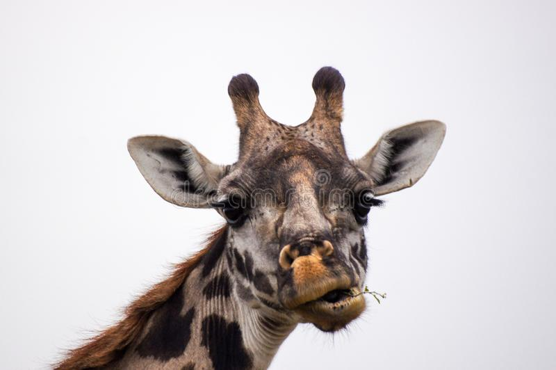 Giraffe head with funny face stock images