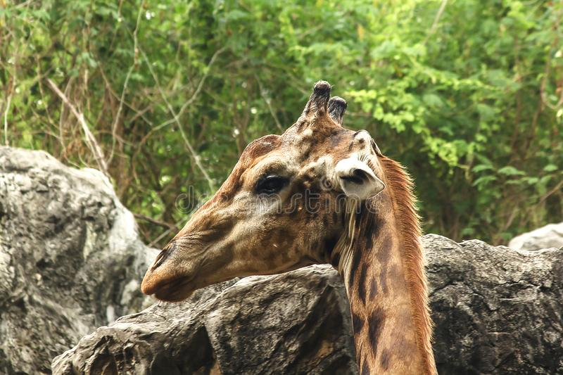 Giraffe head with long neck from the body is unique. royalty free stock photography