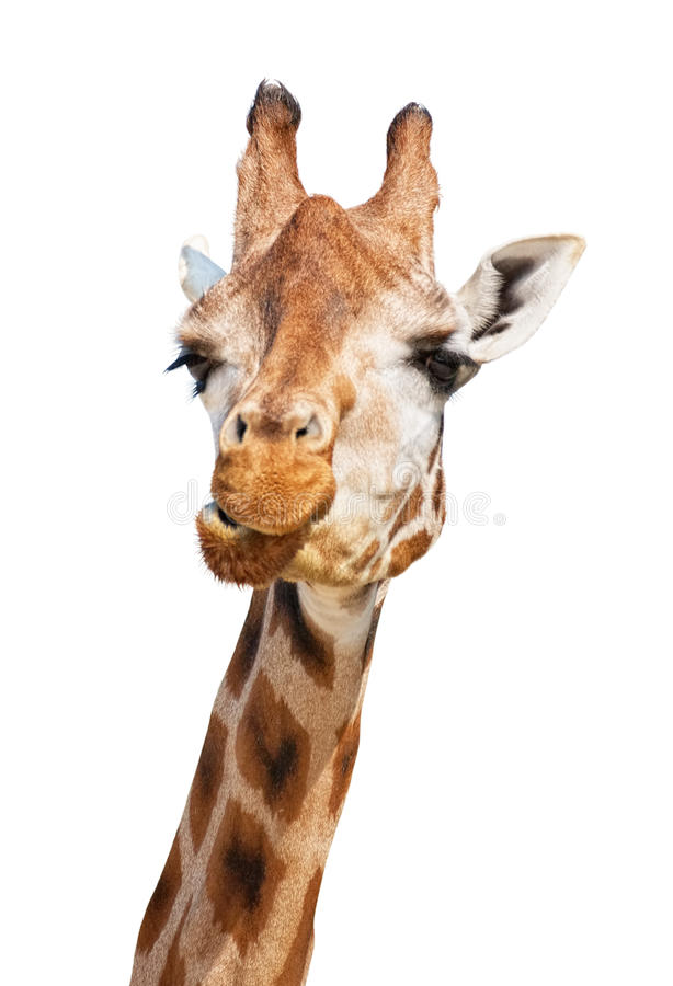 Giraffe head puzzled look. Isolated on white background stock photos
