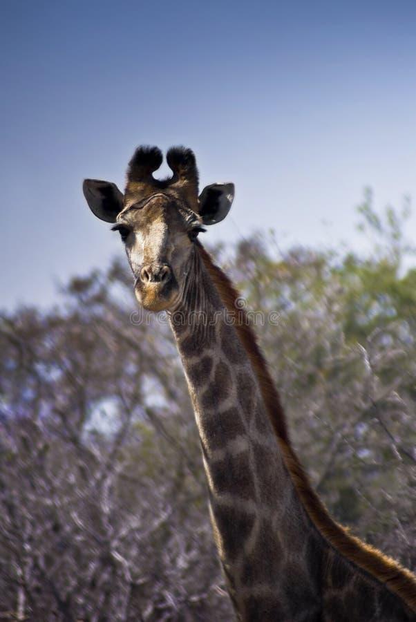 Download Giraffe - Head Shot Stock Photography - Image: 11217662
