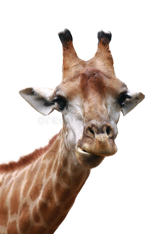 Free Giraffe Head Shot Isolated Background Royalty Free Stock Photography - 18916687