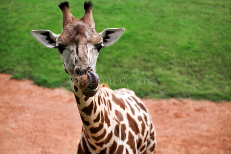 Giraffe the tongue sticking out and enjoying at zoo stock photos