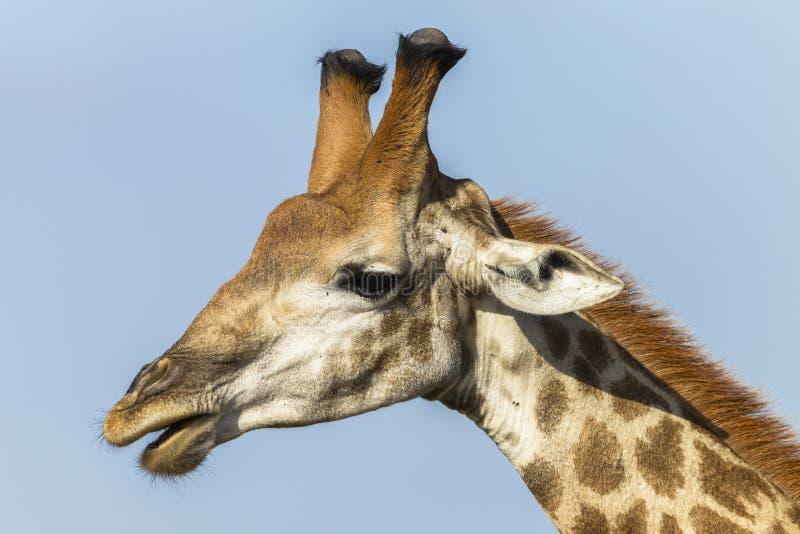Giraffe Head royalty free stock image