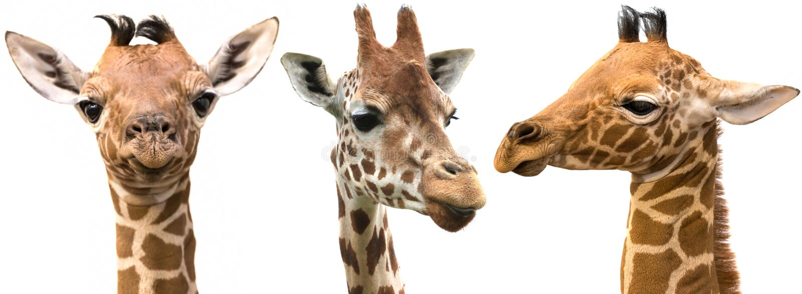 Giraffe heads isolated on white background royalty free stock photography