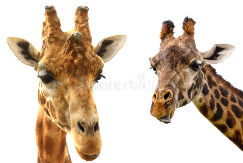 Giraffe heads on white background close-up stock image
