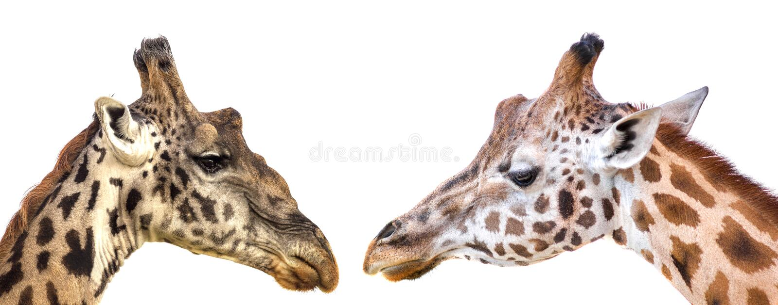 Giraffe heads on white background stock photo