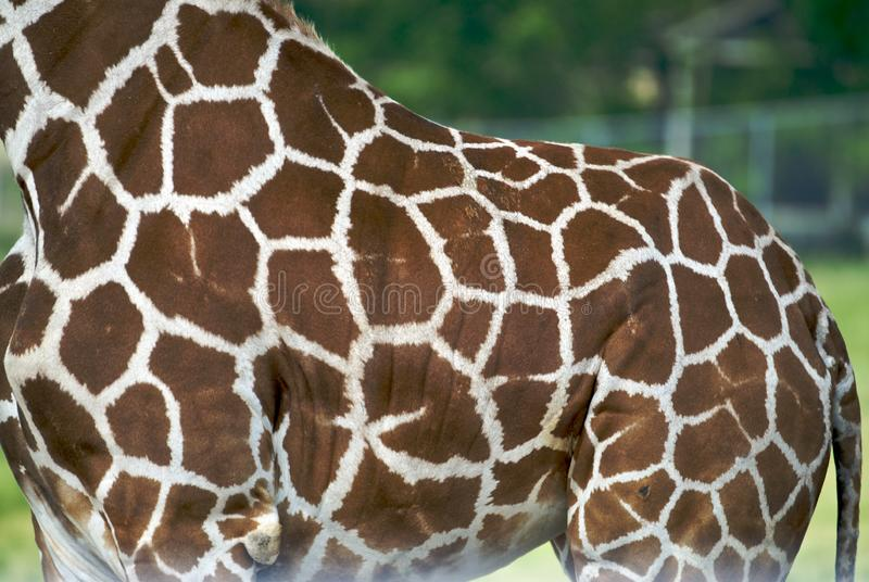 Download Giraffe Hide stock photo. Image of texture, africa, wild - 5423212