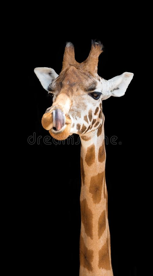 Giraffe with his tongue up his nostril. Comical giraffe with his tongue up his nostril, on black background royalty free stock image