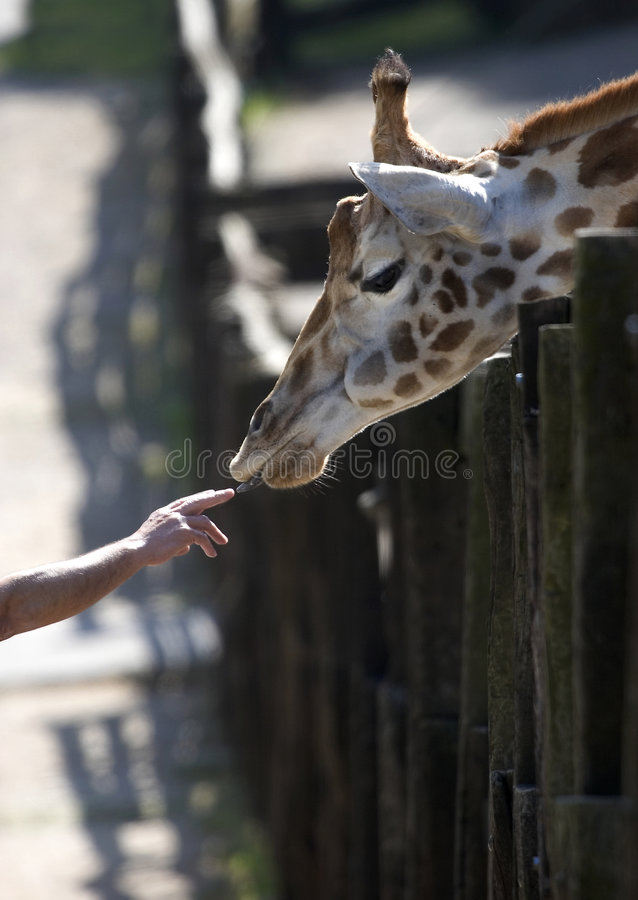 Giraffe and human hand stock images