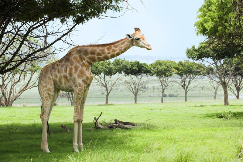 Giraffe im veldt stockfotos