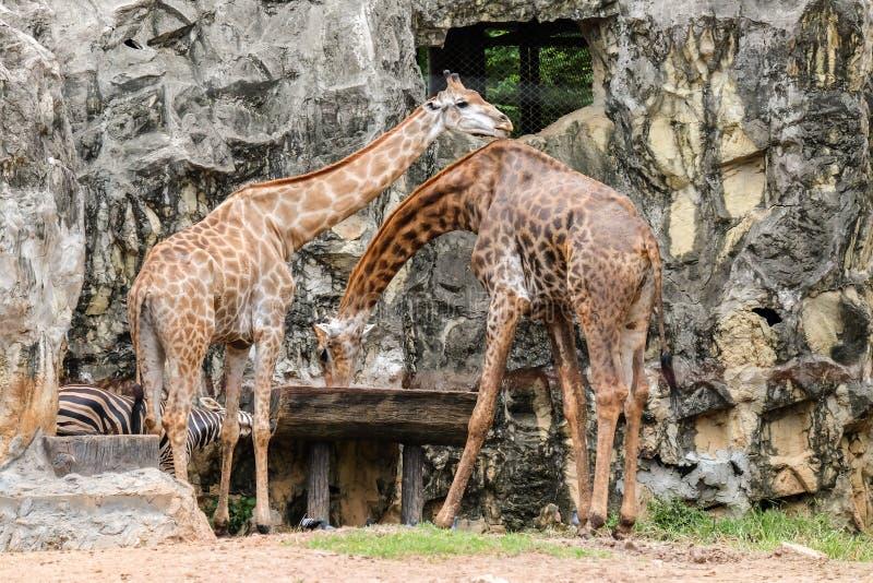 Giraffe im wilden Trinkwasser im hölzernen Behälter lizenzfreie stockfotos