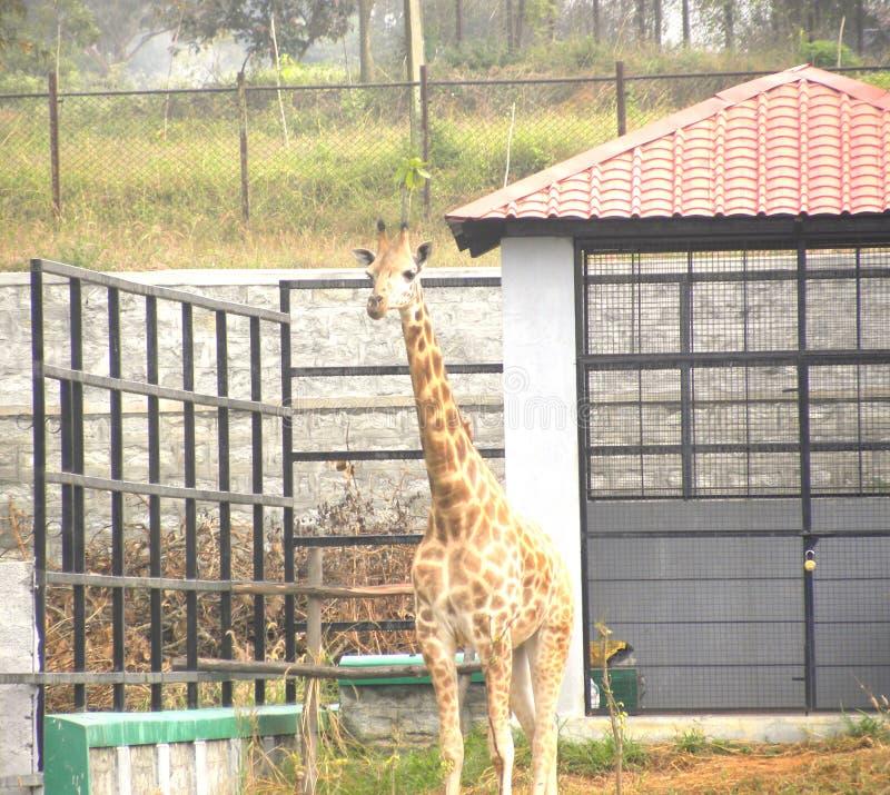 Giraffe im Zoo lizenzfreie stockbilder