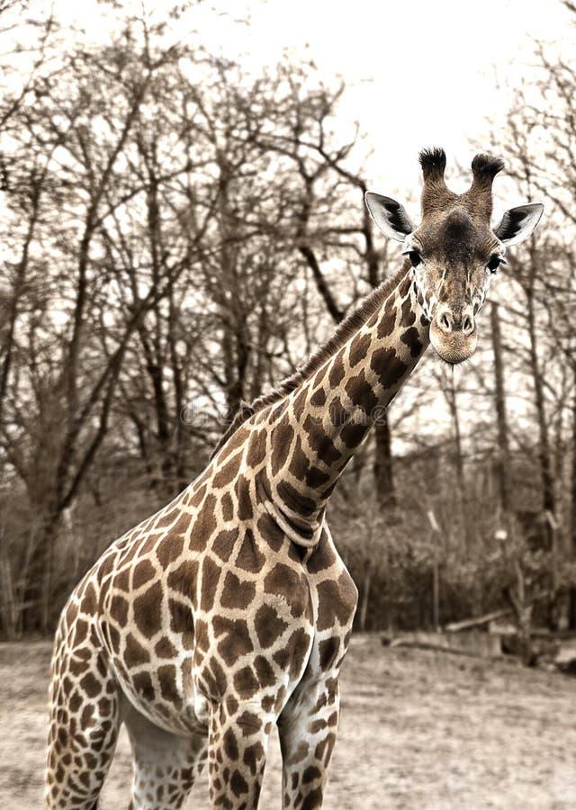 Giraffe im Zoo stockfotos