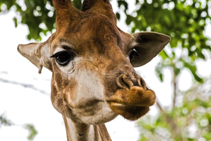 Giraffe im Zoo, der Kopf einer Giraffe lizenzfreie stockfotos