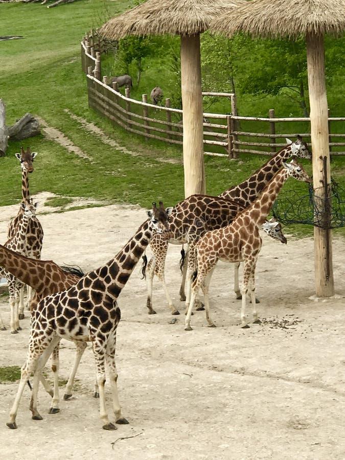 Giraffe im Zoo Prag stockfotos