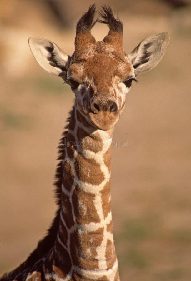 Giraffe imaturo de Baringo foto de stock royalty free