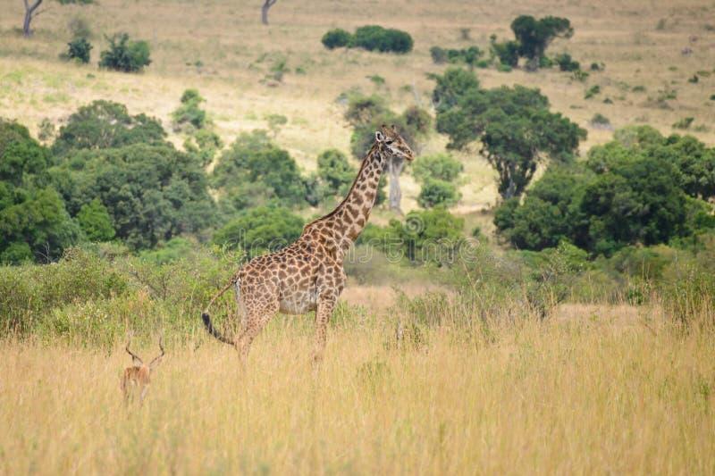 A giraffe and an impala royalty free stock photography