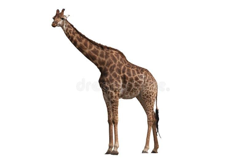 Giraffe isolado no fundo branco foto de stock