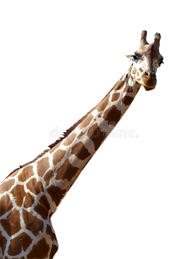 Giraffe isolado no fundo branco fotografia de stock royalty free
