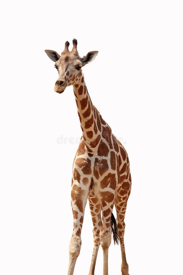 Giraffe isolado foto de stock
