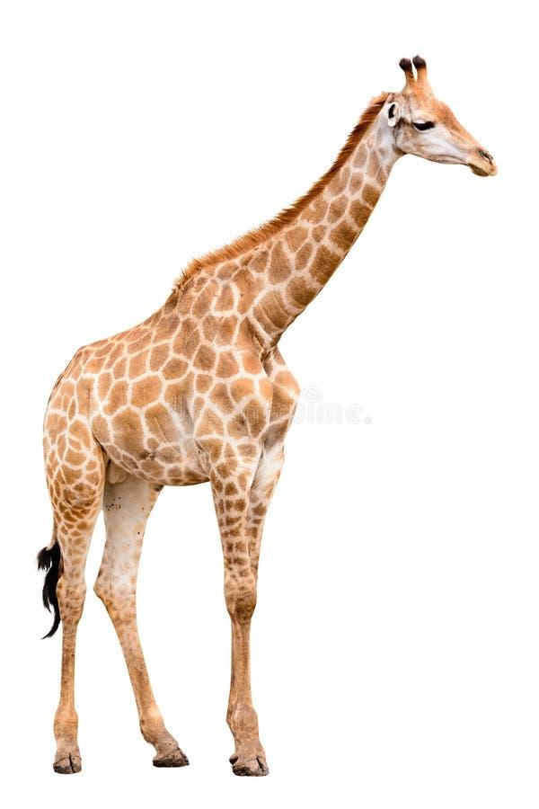 Free Giraffe Isolate Royalty Free Stock Photography - 35353257