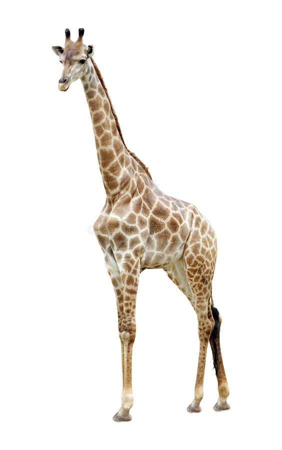 Giraffe isolated royalty free stock photos
