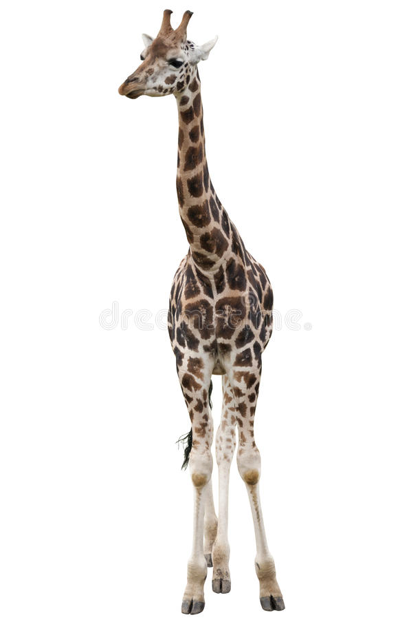 Giraffe Isolated royalty free stock images