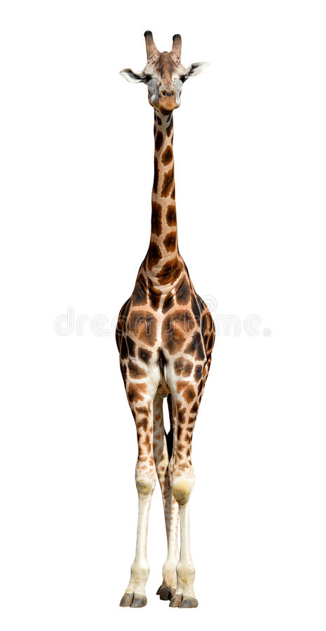 Download Giraffe stock image. Image of head, nose, spots, high - 39239535