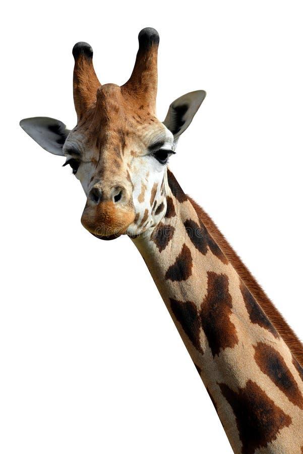 Download Giraffe stock image. Image of wildlife, brown, giraffe - 39239833