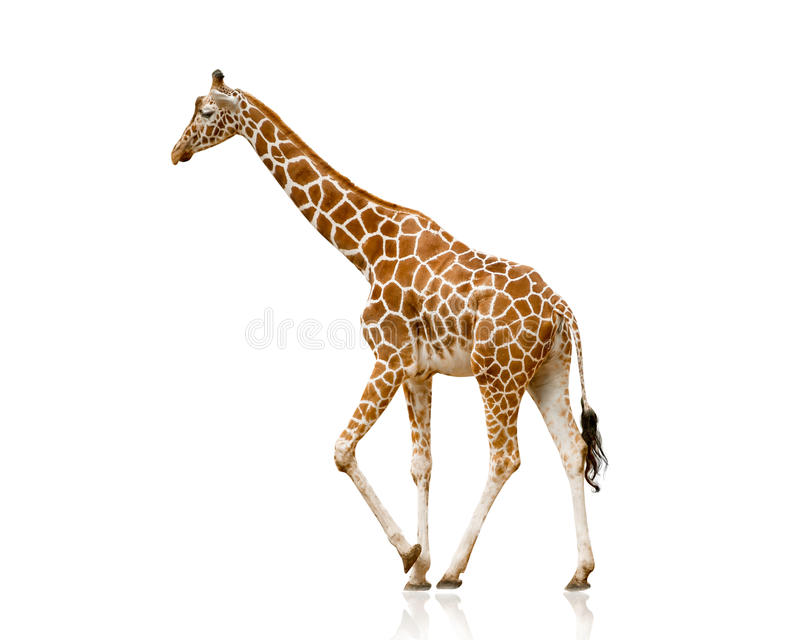 Giraffe isolated on white. Walking stock photos