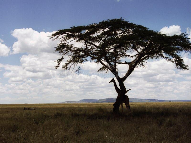 Giraffe jouant à cache-cache image stock