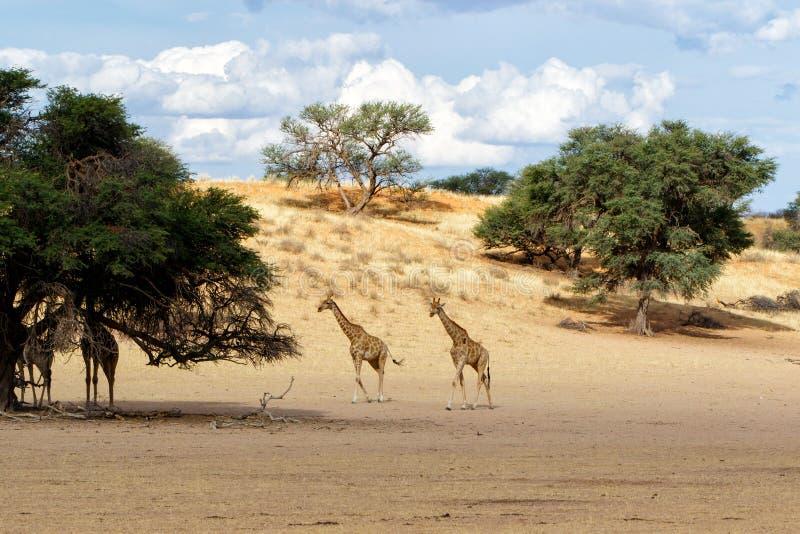Giraffe - Kgalagadi - Kalahari - Sudáfrica foto de archivo libre de regalías