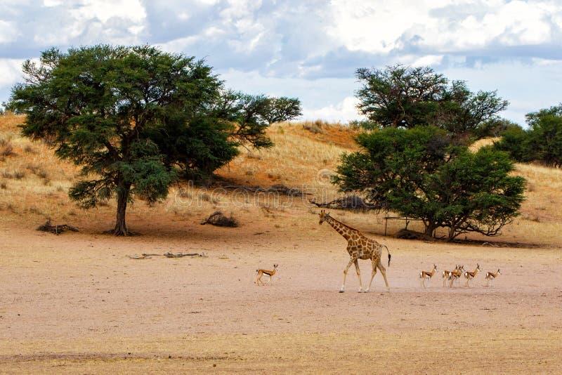 Giraffe - Kgalagadi - Kalahari - Sudáfrica fotografía de archivo libre de regalías
