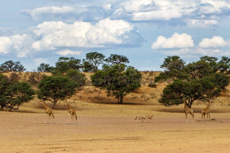 Giraffe - Kgalagadi - Kalahari - Sudáfrica fotografía de archivo