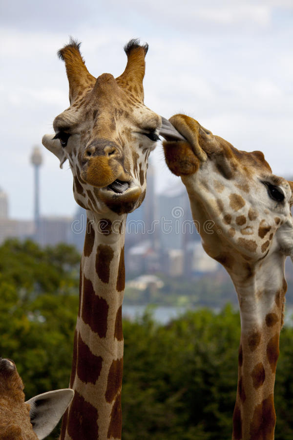 Giraffe Kiss royalty free stock photography